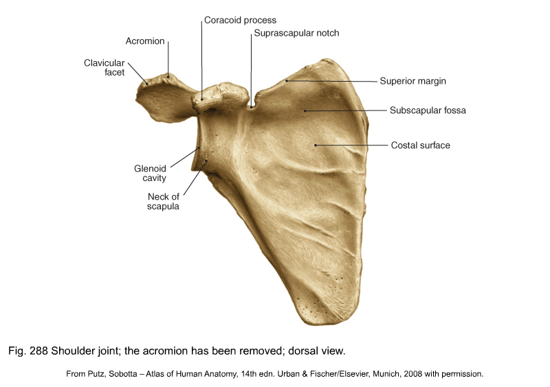 Applied Anatomy Of The Shoulder