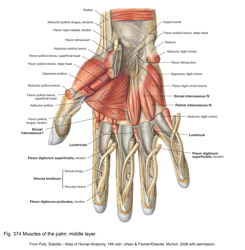 Volar Hand Anatomy Diagram - Download Wiring Diagrams •