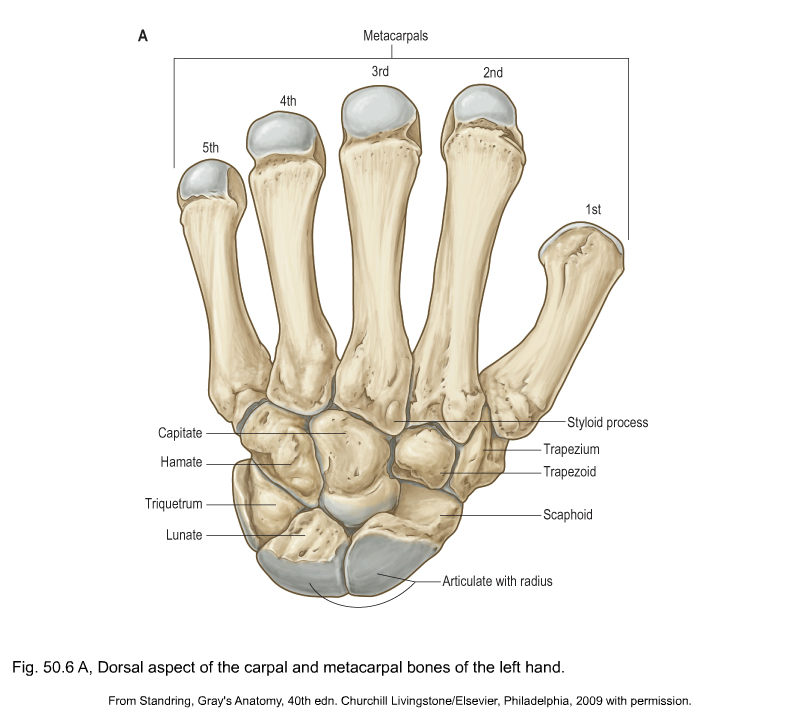 Applied Anatomy Of The Wrist Thumb And Hand Clinical Gate