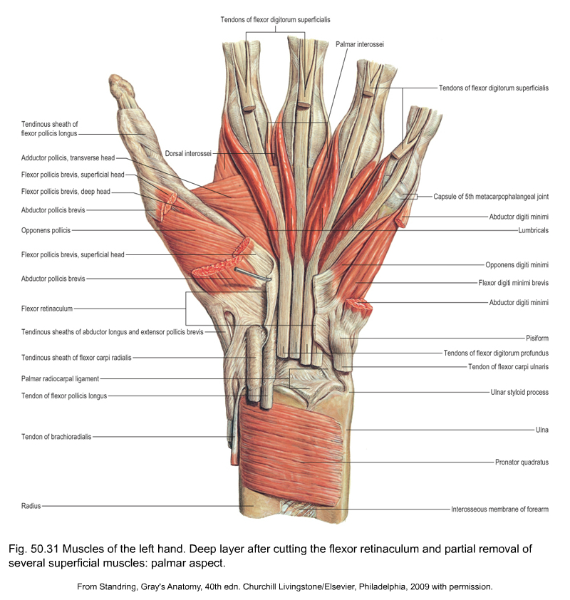 Applied anatomy of the wrist, thumb and hand
