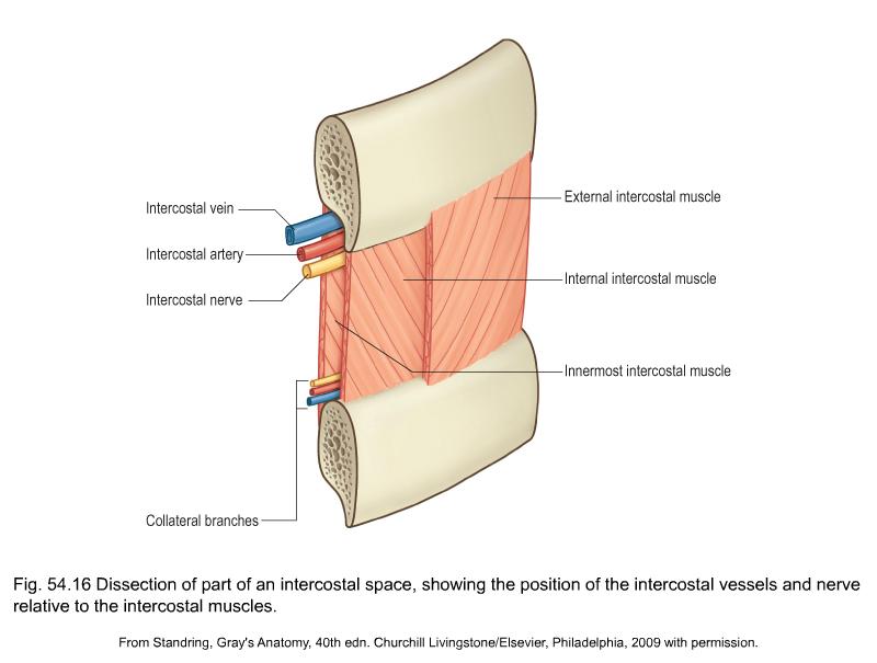 Que curar los músculos intercostales - Tratamiento del dolor de ...