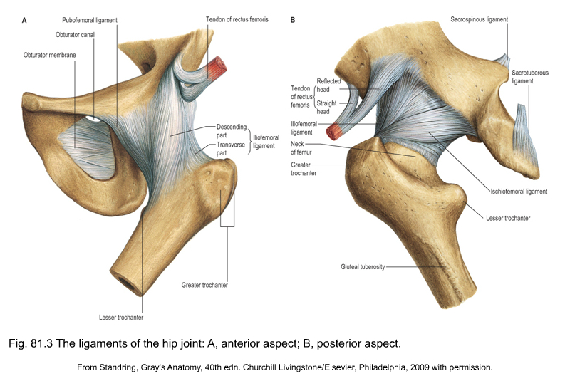 anatomy of the hip and buttock | Musculoskeletal Key
