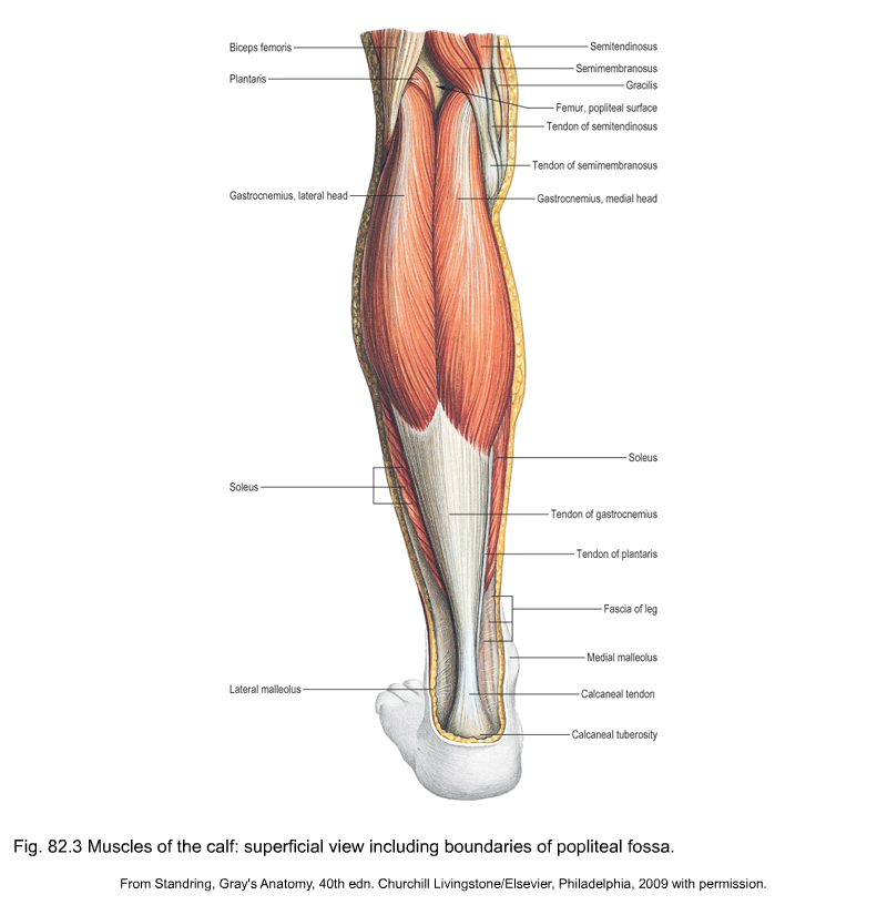 Applied anatomy of the knee