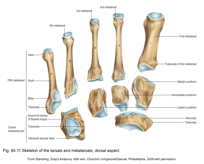 Applied Anatomy Of The Lower Leg Ankle And Foot