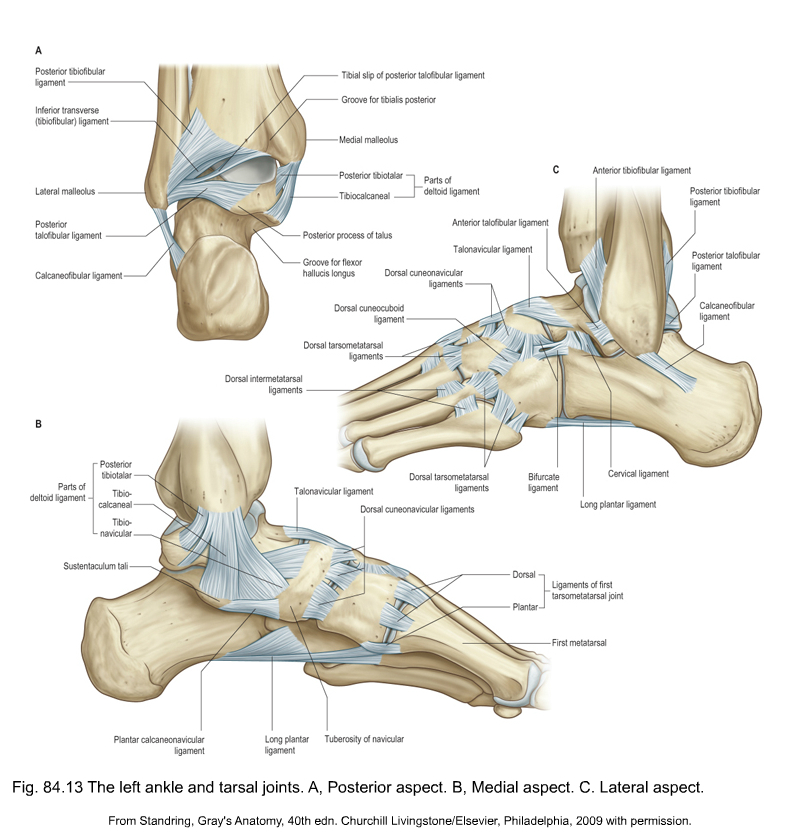 Subtalar And Talonavicular Joint Pictures to Pin on ...